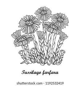 Vector bush with outline Tussilago farfara or coltsfoot or foalfoot with flower and bud in black isolated on white background. Contour medicinal plant coltsfoot for herbal design or coloring book.