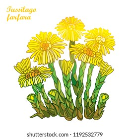 Vector bush with outline Tussilago farfara or coltsfoot or foalfoot with yellow flower and bud isolated on white background. Blossom of medicinal plant coltsfoot in contour style for herbal design.
