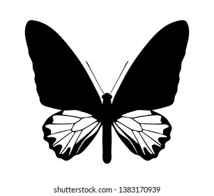 vector butterfly (troides andromache - male) silhouette isolated on white background