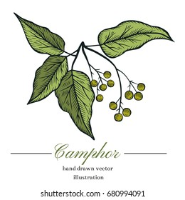 Vector camphor hand drawn illustration.Hand drawn camphor tree.Healing,cosmetics herb.Medical plant.Great for traditional medicine design.Botanical plant.Great design for natural and organic products.