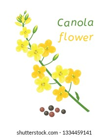 vector canola flower and rapeseeds isolated on white background. canola flower text. mustard plant yellow blossom