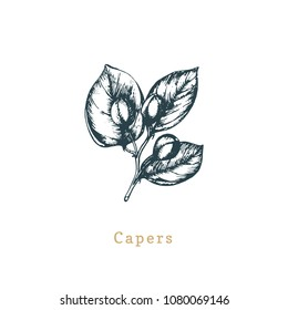 Vector capers sketch. Drawn spice herb. Botanical illustration of organic, eco plant. Used for farm sticker, shop label etc.