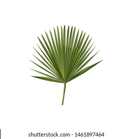 Vector Carnauba Palm Leaf also called Brazil wax and palm wax. Isolated.