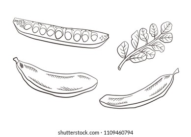 Vector Carob Pods and Leaves, Engraved Drawing Illustration Isolated on White Background, Healthy Eating Caffeine Free Product.