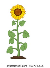 vector cartoon of garden sunflower grow in soil. summer agriculture illustration. sunflower symbol isolated on white background