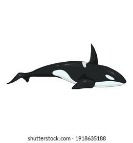 Vector Cartoon Orcinus Orca. Killer Whale Illustration.