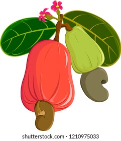 vector cashew on white background,vector cashew nuts