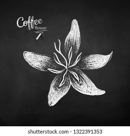 Vector chalk drawn sketch of coffee flower on chalkboard background.