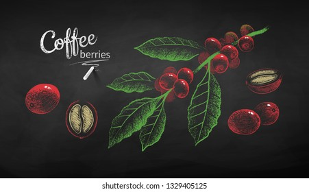Vector chalk drawn sketches set of coffee branch whole and half cut berry with bean on chalkboard background.
