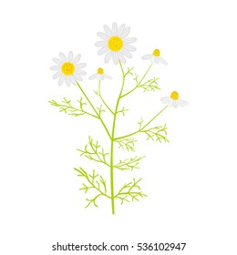 Vector chamomile in flat style