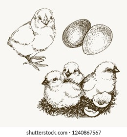 Vector chick breeding hand drawn set. Engraved baby chick and egg illustrations. Rural natural bird farming. Poultry business.