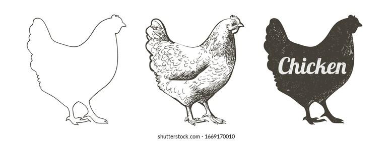 Vector chicken, hen bird. Poultry, broiler, farm animal feeding. Vintage Easter card. Egg packaging design. Realistic sketch, line, silhouette, engraving illustration.