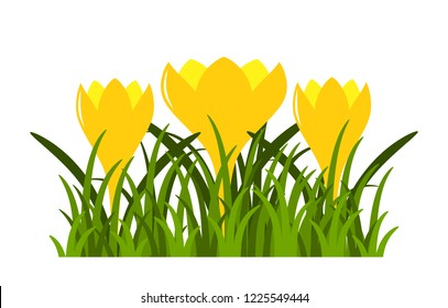 vector clump of crocuses in grass isolated on white background