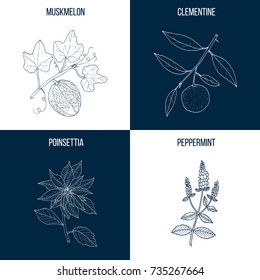 Vector collection of four hand drawn medicinal and eatable plants, clementine, muskmelon, poinsettia, peppermint