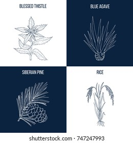 Vector collection of four hand drawn medicinal and eatable plants, blessed thistle, blue agave, siberian pine, rice