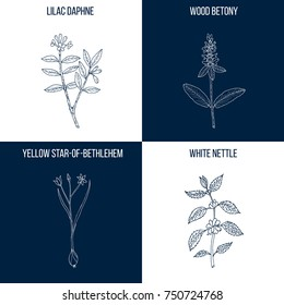 Vector collection of four hand drawn medicinal plants, lilac daphne, wood betony, white nettle, yellow star-of-bethlehem