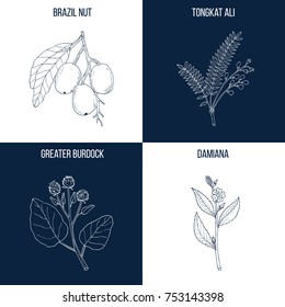 Vector collection of four hand drawn medicinal and eatable plants, brazil nut, tongkat ali, burdock, damiana