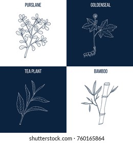 Vector collection of four hand drawn medicinal and eatable plants, purslane, goldenseal, tea plant, bamboo