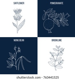 Vector collection of four hand drawn medicinal and eatable plants, safflower, pomegranate, mung bean, brooklime