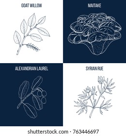 Vector collection of four hand drawn medicinal and eatable plants, goat willow, maitake, tamanu, syrian rue