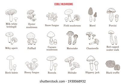 Vector collection of hand drawn edible mushrooms. Hand drawn botanical vector illustration