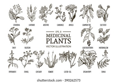 Vector collection of hand drawn medicinal herbs. Botanical plant illustration. Vintage sketch set.