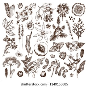 Vector collection of hand drawn perfumery materials and ingredients. Vintage set of aromatic plants, fruits, flowers, seeds, berries, herbs and spices for perfumes and cosmetics.