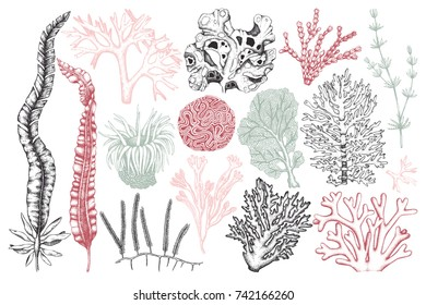 Vector collection of hand drawn sea weeds, corals, actinia illustrations. Vintage set of seaweeds isolated on white background. Underwater sketch. Outlines