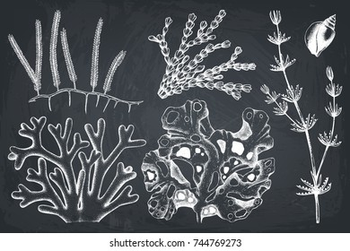 Vector collection of hand drawn seaweed illustrations. Vintage set of sea weeds isolated on chalkboard. Underwater sketch.