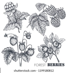 Vector collection of hand drawn sketched berries isolated on white background. Strawberry, raspberry, cloudberry, blueberry.