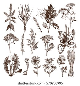 Vector Collection of hand drawn Spices and Herbs. Botanical plant illustration. Vintage Medicinal Herbs and Poisonous Plants sketch set isolated on white - Part 2