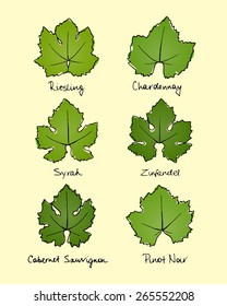 Vector collection of hand drawn wine grape leaves varieties. Riesling, Chardonnay, Syrah, Zinfandel, Cabernet Sauvignon and Pinot Noir grape leaves shapes with hand written names.
