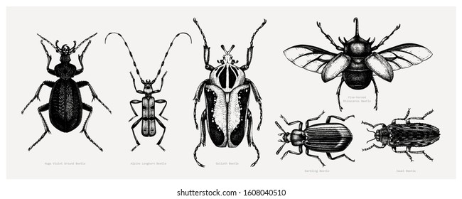 Vector collection of high detailed insects sketches. Hand drawn beetles illustrations in vintage style. Entomological drawings set. Beetles outlines for monogram, banner, poster, tattoo, cards design.