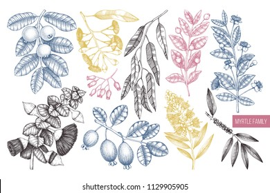 Vector collection of Myrtle family plants illustrations. Hand drawn myrtus, tea tree, guava fruit, eucalyptus, feijoa sketches. Essential oils ingredients for cosmetics and medicine. In color.