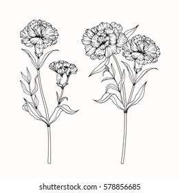 Vector collection set of Carnation flower by hand drawing on white backgrounds.