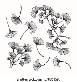 Vector collection set of ginkgo leaf by hand drawing on white backgrounds.