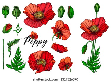 Vector color bright flowers, buds, leaves of the red poppy. Poppy flowers.