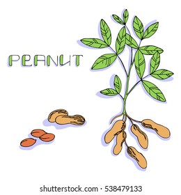 vector color illustration of peanut plant and nuts