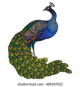Vector Color Peacock Illustration