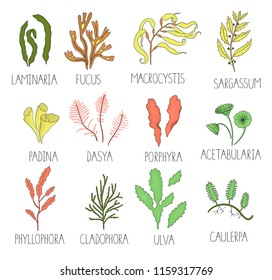Vector  colored set of seaweeds isolated on white background. Colorful collection of laminaria, focus, macrocystis,sargassum, padina, dasya, porphyra, phyllophora, cladophora, ulva, acetabularia