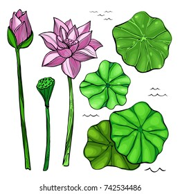 Vector colored sketch set of flowers and leaves of the lotus. Bud and seeds. Aquatic plants.