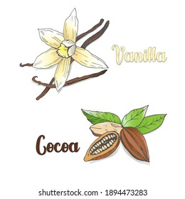 Vector colored sketch of vanilla and сocoa pods isolated on white background. Spices, seasonings, ingredient of a healthy diet, chocolate.