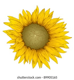 Vector colored sunflower in vintage engraving style.