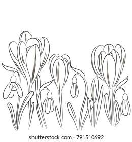vector contour crocus snowdrop flowers set horizontal border