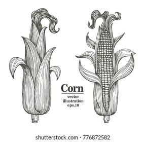 Vector corn on the cob with leaves retro engraved illustration. Botanical corn. Hand drawn illustration