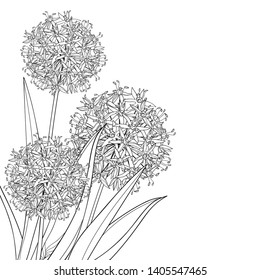 Vector corner bouquet of outline Allium giganteum or Giant onion flower in black isolated on white background. Ball of blossoming ornamental plant Allium in contour for summer coloring book.