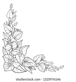 Vector corner bouquet of outline Bougainvillea or Buganvilla flower bunch with bud and leaf in black isolated on white background. Exotic ornate Bougainvillea in contour for summer coloring book.