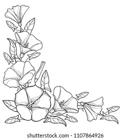 Vector corner bouquet with outline Convolvulus or Bindweed flower bell, leaf and bud in black isolated on white background. Climbing contour Bindweed flower for summer design or coloring book.