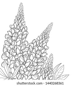 Vector corner bouquet with outline Lupin or Lupine or Bluebonnet flower bunch, bud and ornate leaves in black isolated on white background. Contour decorative plant Lupin for summer coloring book.