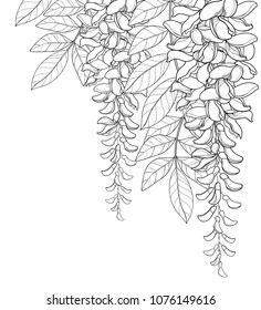 Vector corner bouquet of outline Wisteria or Wistaria flower bunch, bud and leaf in black isolated on white background. Blossom climbing plant Wisteria in contour for spring design or coloring book.